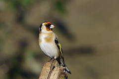 K32P5812c Goldfinch, Lackford Lakes, February 2019 (bobchappell55) Tags: lackfordlakes suffolk wild wildlife nature bird goldficnh cardueliscarduelis