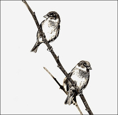 The 'Lookouts' (Mary Faith.) Tags: sparrows two duo twins twigs branches perch perched birds tmi comp