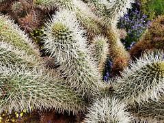 Cactus (Thad Zajdowicz) Tags: zajdowicz samsung galaxy s9 cellphone snapseed anzaborregostatepark borregosprings california usa travel nature cactus flora plant desert light shadow availablelight spines