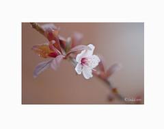 Ciruelo de jardín, (Prunus cerasifera). (EFD-fotolab) Tags: nikkor105mm nikond610 nikon efdfotolab petalos flores flowers floressilvestres naturaleza macrofotografia macro españa primavera primavera2019 prunuscerasifera ciruelodejardin