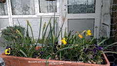 Mini-Daffs with buds in trough on balcony railings from outside 20th March 2019 (D@viD_2.011) Tags: minidaffs with buds trough balcony railings from outside 20th march 2019