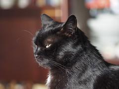 Kocio black-cat Tuxedo (arjuna_zbycho) Tags: blackcat tuxedo tuxedocat kater hauskatze cat animal cute animals pets gato kitten feline kitty kittens pet tier haustier katzen gattini gatto chat cats kocio