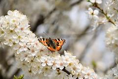 Le printemps est là! (Croc'odile67) Tags: nikon d3300 sigma contemporary fleurs flowers nature papillon printemps spring fruhling arbres trees