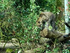 arnhem_3_015 (OurTravelPics.com) Tags: arnhem sri lankan leopard park area burgers zoo