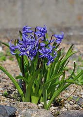 Common hyacinth flowers (Hyacinthus orientalis, ヒヤシンス) (Greg Peterson in Japan) Tags: shiga japan flowers yasu plants 滋賀県 野洲市 植物 花 shigaprefecture jpn