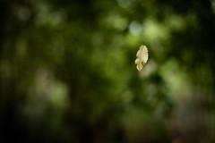 13 of 52 Weeks (Lyndon (NZ)) Tags: week132019 startingtuesdaymarch262019 52weeksthe2019edition ilce7m2 sony nature leaf outdoors newzealand nz forest bush park reserve bokeh dof