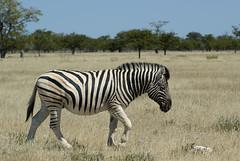 Hartmann's mountain zebra (Loïc BROHARD) Tags: zebra hartmann mountainzebra hartmannmountainzebra faune fauna animal africa etosha namibia namibie zebre