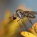 Bee Fly (Geron sp)