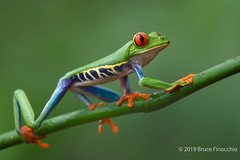 Red-eyed Tree Frog Climbs Up A Green Vine (brucefinocchio) Tags: redeyedtreefrog treefrog frog amphibian agalychniscallidryas moistbranch froghaven caribbeanlowlands costarica