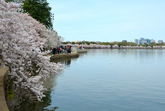 DSC_0217 (afagen) Tags: washington dc washingtondc districtofcolumbia tidalbasin cherryblossoms sakura blossom rosslyn