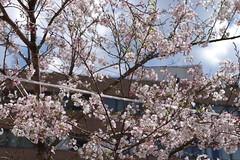 IMGP4414 (kirinoa) Tags: 神奈川県 横浜市 日ノ出町 黄金町 大岡川 桜