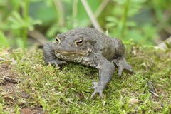Moss the Toad (StevePaisley) Tags: common toad bufo amphibian