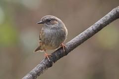 Dunnock (prunella modularis) (alfred.reinartz) Tags: singvogel vogel braunelle bird prunella modularis