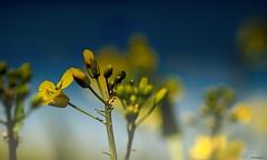 Flowers (akatsoulis) Tags: yellowfields d5300 nikkor50mm14g nikon oxford rapeseed yellowflowers flowers
