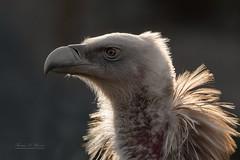 Portrait of a griffon vulture (THW-Berlin) Tags: birds animals tiere vögel vultures geier griffons aves sony alpha6500