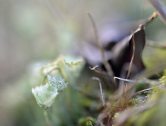 Happy new Year! (conall..) Tags: cladonia cladoniasp cladoniaceae lichen undergrowth ground closeup raynox dcr250 macro nikonafsnikkorf18glens50mm prime lens primelens county down tullynacree nw551041 annacloy field northernireland backlit backlight intothelight desenfoque outoffocus narrow dof selective focus