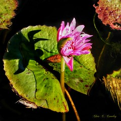 One Solitary Life (Chris C. Crowley) Tags: onesolitarylife christmaseve2018 waterlily amespark ormondbeachflorida flower pinkwaterlily pinkflower floral botanical pond lilypad water