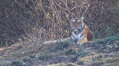 Majestic beast (Nagarjun) Tags: nagarholenationalreserve riverkabini tiger tigress bigcat animal wildlife safari