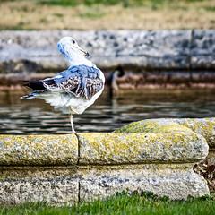 Ma starlette à 1 patte (thierrybalint) Tags: water bird grass parc borely marseille park gabian nikon nikoniste balint thierrybalint