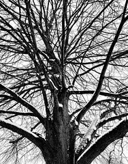 Winter Tree on the Lachine Canal (MassiveKontent) Tags: winter snow trees contrast noiretblanc blackwhite montreal bw city monochrome urban blackandwhite montréal quebec bwphotography streetshot android lines tree symmetry absoluteblackandwhite frozen mono cold branches