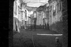 IMG_0567 (BernaPhotography) Tags: vintage abandoned ruined forgotten church serbia srem blackandwhite labradorretriever lab labrador dog pet yellow