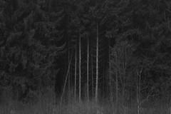 black alleys (Mindaugas Buivydas) Tags: lietuva lithuania bw autumn fall november tree trees fir forest fog mist dark darkness mood moody mindaugasbuivydas sadnature whiteinblack