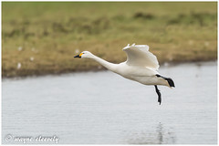 E56 Bewick's Swan (waynecleevely) Tags: wwt slimbridge