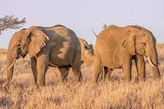Grazing in Morning Light (helenehoffman) Tags: africa rhino ceratotheriumsimum kenya whiterhino rhinoceros squarelipped lewawildlifeconservancy africanbushelephant loxodontaafricana