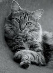 La Bichita (Ani Carrington) Tags: cat tabby tabbycat longhaired longhairedcat sweet pet eyes whiskers blackandwhite catsinblackandwhite