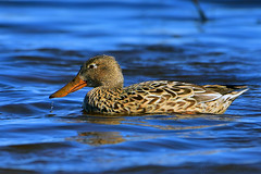Northern_Shoveler_Female_01 (DonBantumPhotography.com) Tags: wildlife nature animals birds donbantumcom donbantumphotographycom waterfowl duck northernshoveler