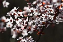 C'est le printemps (Excalibur67) Tags: nikon d750 sigma globalvision contemporary 100400f563dgoshsmc flowers fleurs frühling printemps spring floraison nature arbres trees