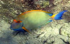 Eyestripe Surgeonfish (Acanthurus dussumieri) (J.Thomas.Barnes) Tags: