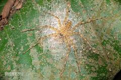 Lichen huntsman spider (Pandercetes sp.) - DSC_1510 (nickybay) Tags: singapore macro zhenghuapark pandercetes eggsac sparassidae lichen huntsman spider