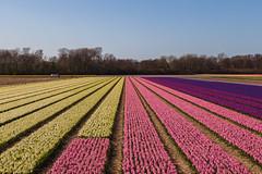 Various colored hyacinths on the bulb fields (jan.vd.wolf) Tags: bulbs flowerbulbs bollen bloemen flowers hyacinten bollenvelden vogelenzang noordholland nederland nl lisse
