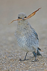 Mountain Bluebird (Gf220warbler) Tags: idaho bluebird songbird passerine
