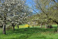 Le retour des beaux jours (Croc'odile67) Tags: nikon d3300 sigma contemporary 18200dcoshsmc paysage landscape arbres trees printemps spring fruhling floraison nature