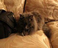 Bella sans Flash (Pushapoze (NMP)) Tags: bella cat chat