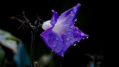 After the Rain (jennbastian) Tags: raindrops gardens nature purple flowers