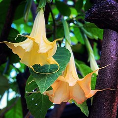 Brugmansia in Bloom A lovely example of Brugmansia found throughout Los Angeles What are your favorite flowers? #brugmansia #garden #flowers #plants #nature #outdoors #gardening #losangeles #la #california #flower #flowerstagram #flowermagic #flowerlovers (dewelch) Tags: ifttt instagram brugmansia bloom a lovely example found throughout los angeles what your favorite flowers garden plants nature outdoors gardening losangeles la california flower flowerstagram flowermagic flowerlovers flowergram