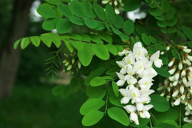 Обои дерево, белая, акация картинки на рабочий стол, раздел цветы - скачать