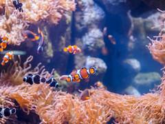 The now Ubiquitous Clown fish (aka Nemo) (Carrot Room) Tags: olympus penf longbeach aquariumofthepacific digital
