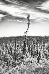 Dare to be Different (Candy McDonald) Tags: alaska blackspruce tree lonetree different blackandwhite blackandwhitephotography nikon nikonphotography nature naturephotography photoshop nikcollection monochromatic itsamazingoutthere god'screation