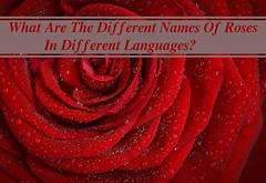 What Are The Different Names Of Roses In Different Languages? (mollytcook) Tags: localizations translation love flowers growth trending viral rose language