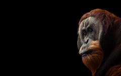 lonely giant (mad_airbrush) Tags: lonelygiant gefangenschaft gefangene gefangen einsam traurig sadness sad wildlife 5d 5dmarkiii 70200mm ef70200mmf28lisusm art artwork animals animal affe ape orangutan orange dark zoo portrait porträt face ngc lonelyness monkey