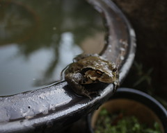 toad (sogni_hal) Tags: amphibia animal garden toad water