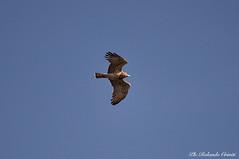Biancone _004.jpg (Rolando CRINITI) Tags: biancone uccelli uccello birds ornitologia avifauna rapaci arenzano natura