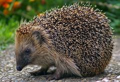 Igel (anubishubi) Tags: pentaxk100d säuger säugetier igel hedgehog