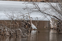 ashleyreservoir2019-8 (gtxjimmy) Tags: nikond7500 nikon d7500 tamron 150600mm newengland holyoke massachusetts watersupply reservoir heron bird greatblueheron