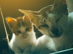 DSCN5770 (aryakchatterjee) Tags: cat kitten portrait