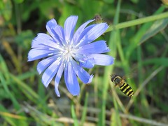 coming in for a landing (Cheryl Dunlop Molin) Tags: flowerfly hoverfly insect wildflower indianawildflowers chicory